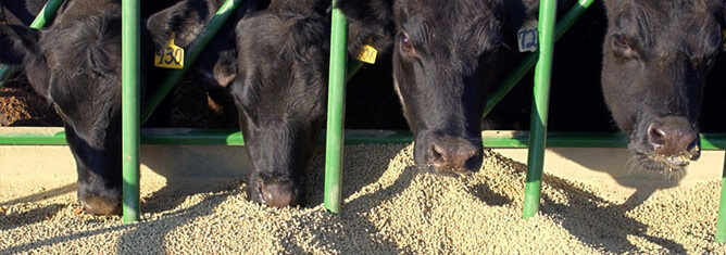 cow feeds